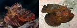 scorpionfish-stonefish